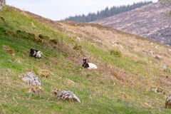 Zwei wilde Ziegen lässt auf dem Gras weiden, das durch blaue Glocken in S umgeben wird Lizenzfreie Stockbilder