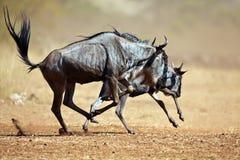 Zwei Wildebeests, die durch die Savanne laufen Stockfotografie