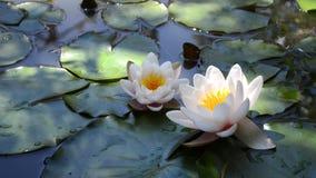 Zwei Wildwasserlilien stock video