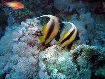 Zwei Wimpelfische Lizenzfreies Stockfoto