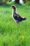 Zwei-Wochen-altes Babyhühnerausrufen Stockbilder