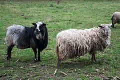 Zwei wollige Schafe in den verschiedenen Farben stockfotos