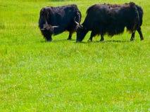 Zwei Yaks, das auf dem Gebiet weiden lässt Lizenzfreies Stockbild