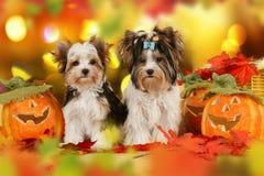 Zwei yorkshie Terrier-Hunde im Herbstlaub Lizenzfreie Stockfotografie