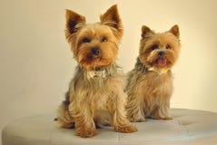 Zwei Yorkshire-Hunde Stockfoto