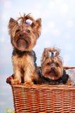 Zwei Yorkshire-Hunde im Weidenkorb Lizenzfreie Stockfotos