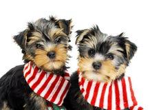 Zwei Yorkshire-Terrierwelpen Lizenzfreie Stockfotografie