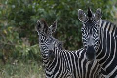 Zwei Zebra, Equus, der Kamera betrachtet stockfotografie