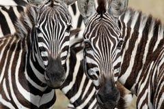 Zwei Zebragesichter, die entlang Sie anstarren Stockfoto