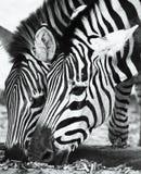 Zwei Zebras Stockfoto