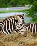 Zwei Zebras Stockfotos