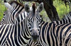Zwei Zebras lizenzfreie stockfotografie