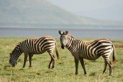 Zwei Zebras Stockfotografie