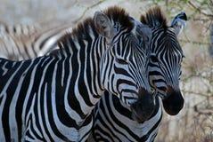Zwei Zebras Lizenzfreie Stockfotos