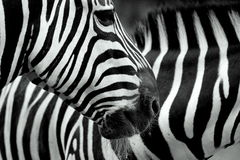 Zwei Zebras stockbilder