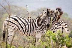 Zwei Zebras Stockfotos