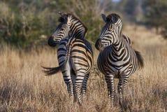 Zwei Zebras auf der afrikanischen Savanne lizenzfreies stockfoto