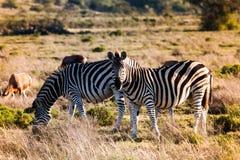 Zwei Zebras auf der Wiese einer Savanne Lizenzfreies Stockbild
