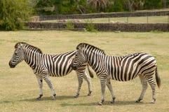 Zwei Zebras in der natürlichen Reserve in Montevideo, Uruguay Stockbild