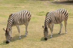 Zwei Zebras, die in die natürliche Reserve, Montevideo, Uruguay einziehen Stockfotografie