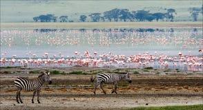 Zwei Zebras und Flamingo. Lizenzfreie Stockfotografie