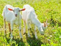 Zwei Ziegen Lizenzfreies Stockfoto