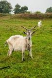Zwei Ziegen auf einer grünen Wiese lizenzfreie stockfotos