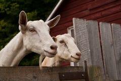 Zwei Ziegen, die über einem Zaun schauen lizenzfreies stockfoto