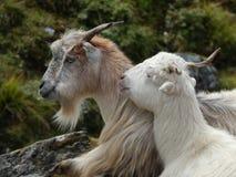 Zwei Ziegen am Hügel Stockfotos