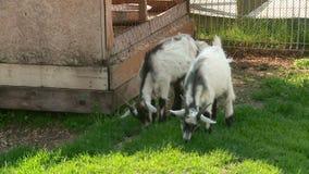 Zwei Ziegen lassen gr?nes Gras weiden stock footage