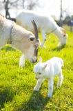 Zwei Ziegen und Babyziege Lizenzfreie Stockbilder