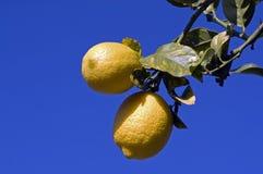 Zwei Zitronen stockfotos