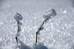 Zwei Zweige im Schnee Stockfoto