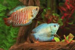 Zwei zwergartige Gouramis in einem Aquarium Stockfotos