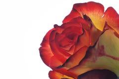 Zweifaerbige Rose - zwei gefärbt stiegen Lizenzfreies Stockfoto