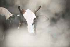 Zweifarbige Kuh Stockfotos