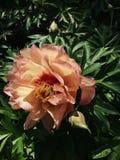 Zweifarbige Pfingstrosen-Blume in der Blüte stockfotos