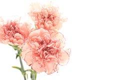 Zweifarbige rosa Gartennelke auf weißem Hintergrund Stockfoto