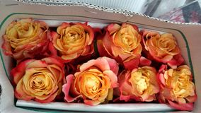 Zweifarbige Rose im Krepppapierkasten Stockfotografie