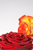 Zweifarbige Rose - two colored rose Stock Photos