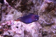 Zweifarbige tropische Fische Ecsenius Stockfotos
