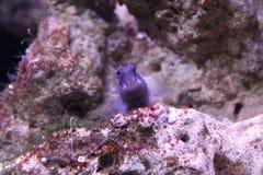 Zweifarbige tropische Fische Ecsenius Stockfoto