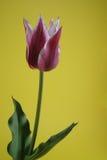 Zweifarbige Tulpe Stockfoto