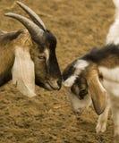 Zweifarbige Ziegen Lizenzfreie Stockfotos