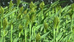 Zweifarbiges Bio des Sorghums auf dem Gebiet von Getreideernten, ein landwirtschaftliches Betriebsgrün, gewachsen als Getreidemeh stock video