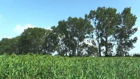 Zweifarbiges Bio des Sorghums auf dem Gebiet von Getreideernten, ein landwirtschaftliches Betriebsgrün, gewachsen als Getreidemeh stock footage