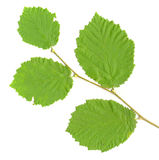 Zweig-Blätter getrennt Lizenzfreie Stockfotografie