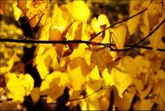 Zweig der autimn Blätter Lizenzfreies Stockbild