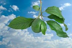 Zweig der Avocado Lizenzfreie Stockfotos