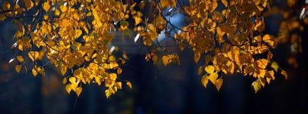 Zweig der Birke Stockfoto